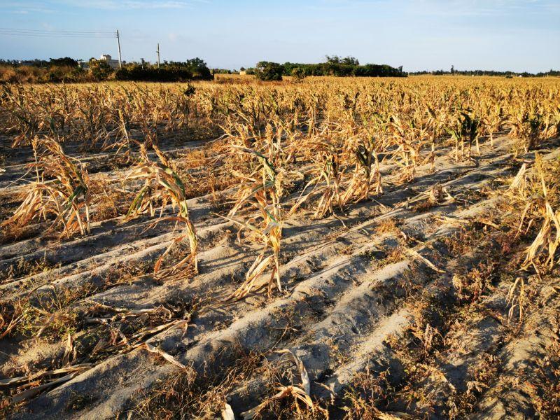 連續乾殲,農委會16日公告金門為農業天災區,祭出現金及貸款方案。(圖/記者蔡若喬攝)