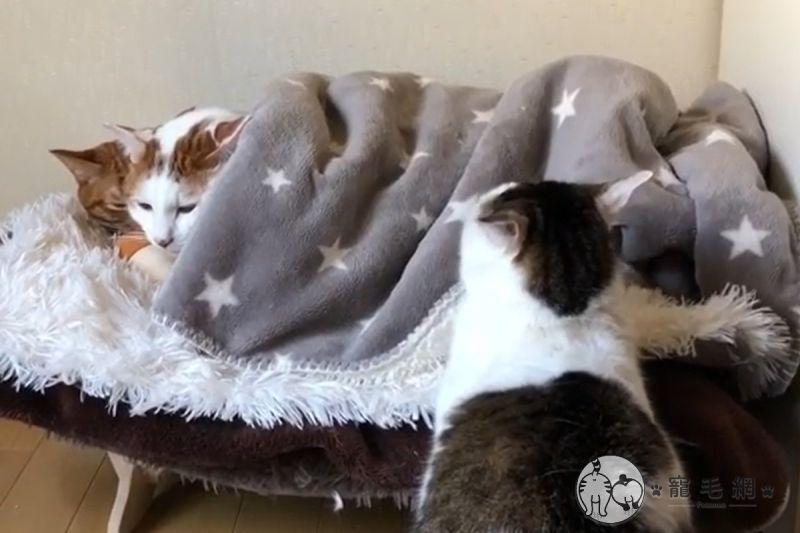 ▲2隻貓在貓窩蓋被被「饋修」,出現另隻胖貓自動黏過去。(圖/IG@kibimomo授權)