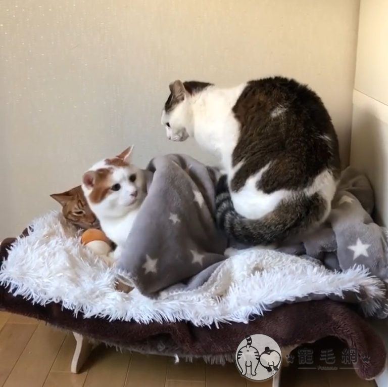 ▲橘白貓:「欸欸!尼很重欸!」(圖/IG@kibimomo授權)