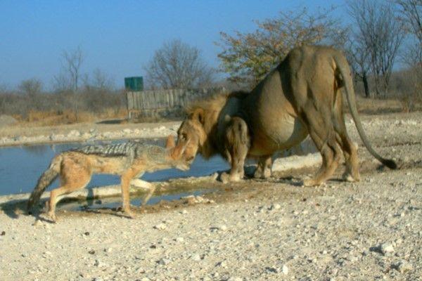 ▲一隻胡狼經過水坑時,剛好有一頭公獅正準備喝水(圖/orc.com.na)