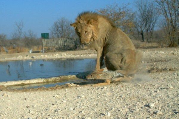 ▲獅子一個不注意,不小心一屁股坐在胡狼的身上……(圖/orc.com.na)