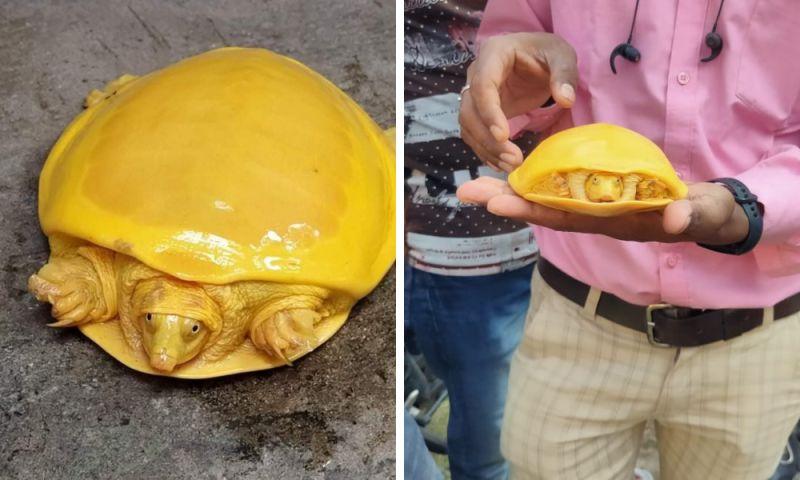 ▲在印度巴爾達曼(Bardhaman),有人在池塘中發現一隻全身呈現金黃色的鱉,鮮亮的黃色讓人大感驚奇,直呼像麥當勞漢堡。(圖/翻攝自推特)