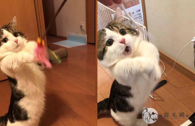 影/短腿貓玩<b>逗貓棒</b> 「心情就像洗三溫暖」全寫在臉上