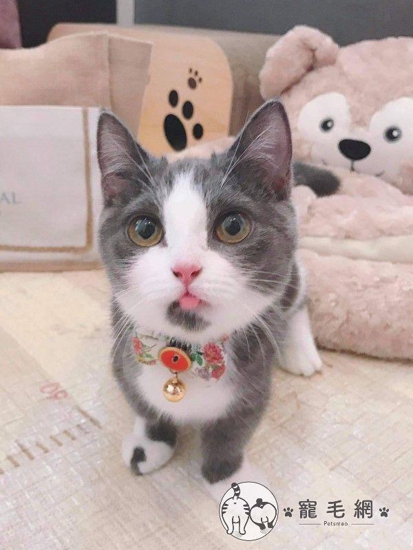 ▲網友李小姐養了一隻6個多月大的曼赤肯貓「朵朵」,牠好奇心重,喜歡在家裡四處探索(圖/網友李安久授權提供)