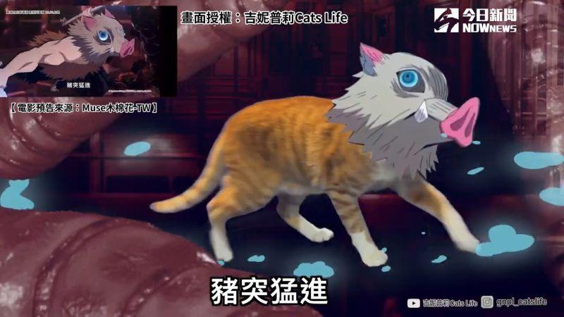 ▲ 貓咪版「嘴平伊之助」。(圖/吉妮普莉Cats Life 授權)