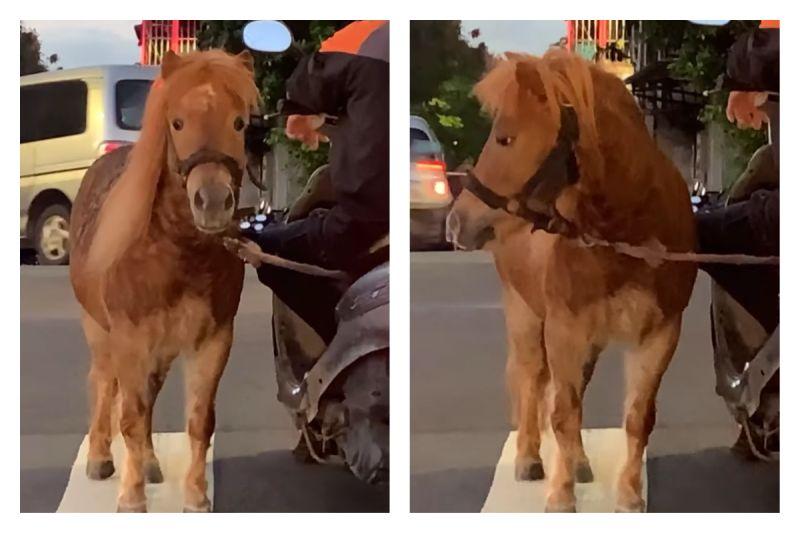 超狂!板橋驚見機車騎士遛馬 路人笑喊:加「一匹馬力」