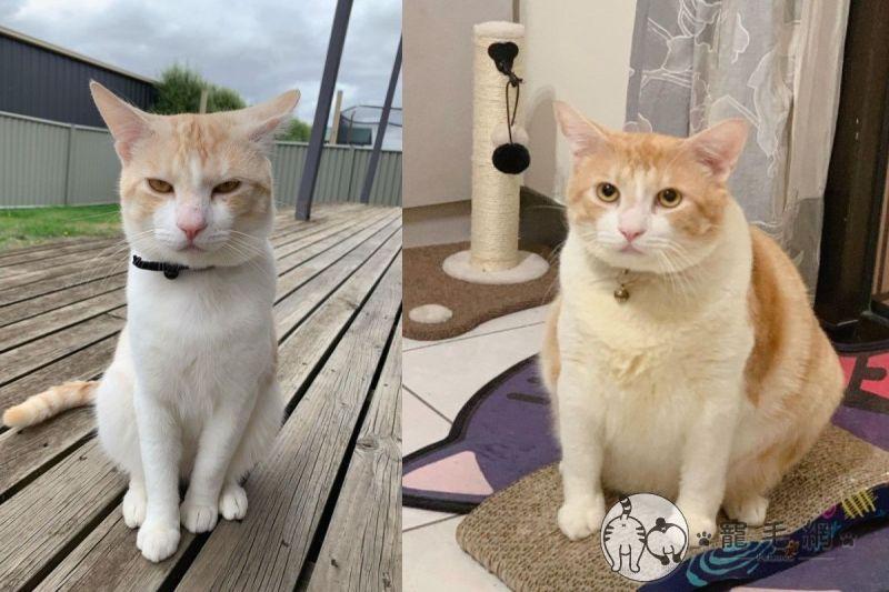 橘白貓回台一年從霸氣小子變胖大叔 網笑:台灣<b>伙食</b>好!