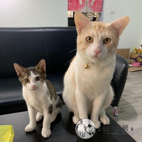 ▲搬回台灣後Mia領養了另一隻小貓「December」,原本希望兩隻貓咪可以玩在一起(圖/網友Mia