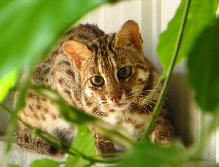 ▲石虎是台灣的國寶也是瀕臨絕種的保育類野生動物。(圖/NOWnews資料照)