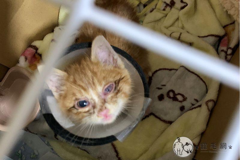 影/小橘貓雙眼發炎被拋棄 好心女子撿回家養成「電眼美貓」