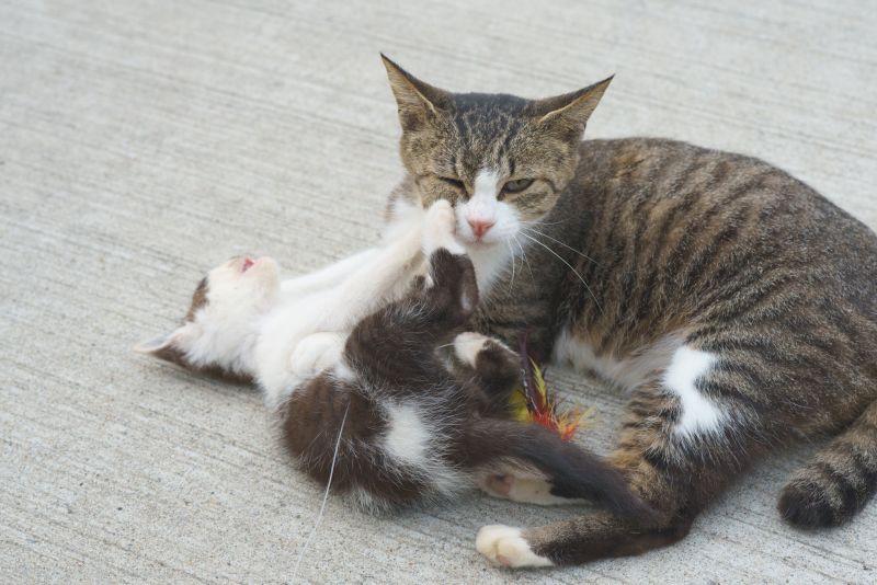 ▲母貓帶小孩的生活也是很累人的(圖/Twitter@gaga_numa)