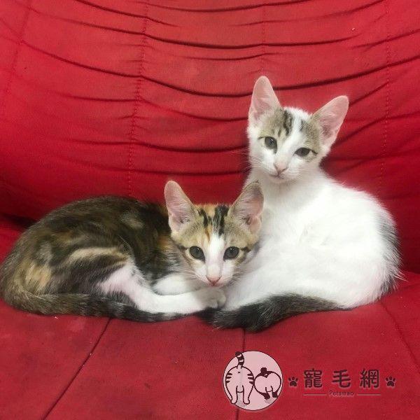 ▲網友江先生幾個星期前向中途領養了一對貓咪兄妹(圖/IG@mu_maomi授權提供)