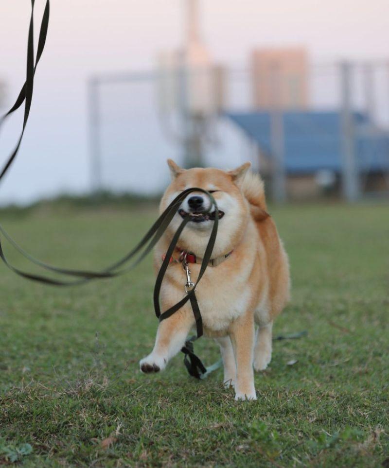 ▲推主@marutaro2000:這是要投稿可愛柴犬照吧!(圖/Twitter@marutaro2000)