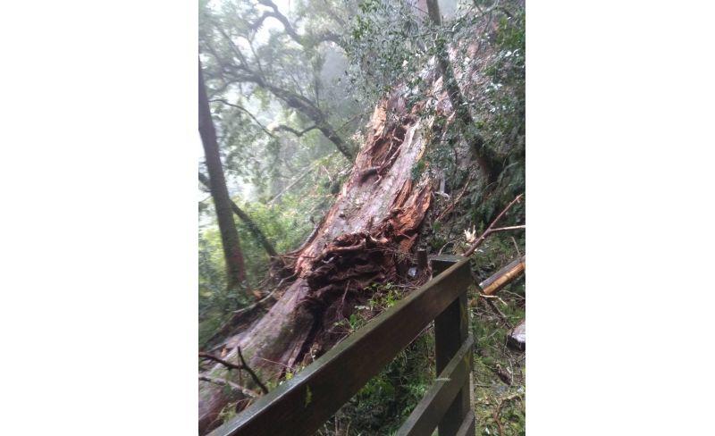 拉拉山巨木倒伏