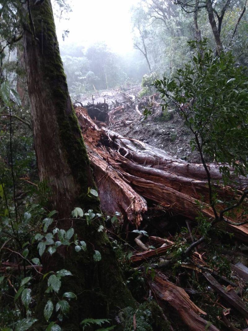 ▲巨木倒伏的確切原因還需要進一步的調查釐清。(圖/新竹林管處提供)