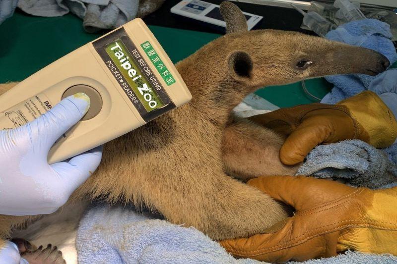 找到了!民眾協尋動物園逃脫小食蟻獸 結束3個月翹家生活