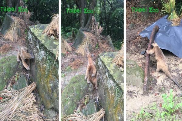 ▲12月6日當天兩位熱心民眾爬山經過深坑林家草厝時,發現路邊竟出現小食蟻獸,立刻拍下來並通報動物園遊客中心,保育員確認是日前失蹤的小紅(圖/翻攝自Taipei