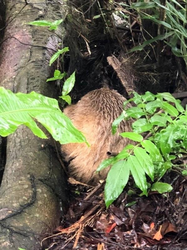 ▲園方派出36位同仁立刻上山,終於在照片拍攝處附近樹洞下找到正在睡覺的小紅(圖/翻攝自Taipei