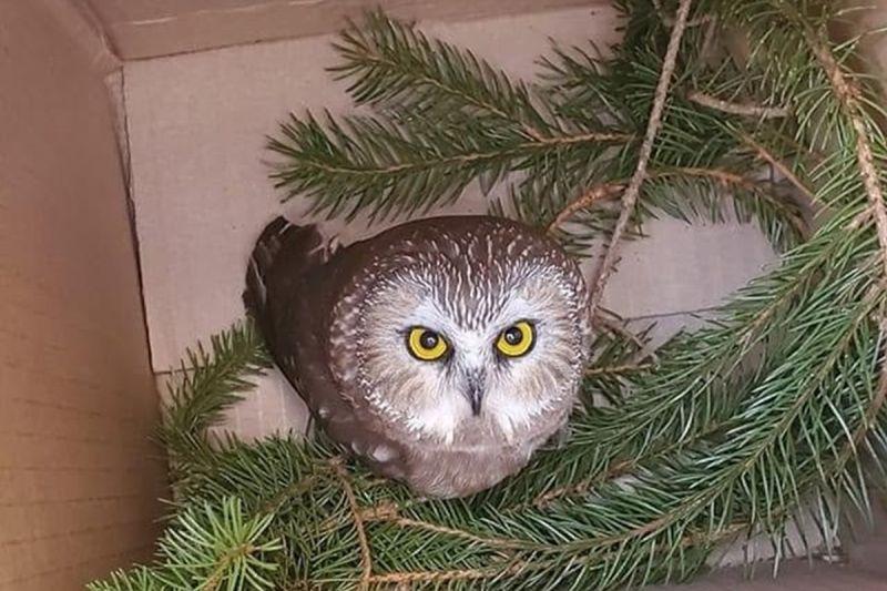 小貓頭鷹躲聖誕樹!不小心「搭便車」來到273公里外紐約