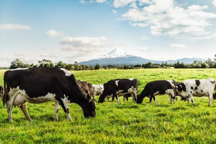 ▲豐力富在紐西蘭擁有自營牧場,天然放牧飼養,產出營養價值高的牛奶。(圖/品牌提供)