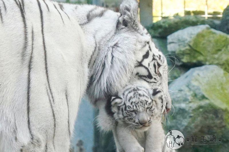 ▲盡責地白老虎媽媽,小虎寶一離開視線就馬上叼回來!(圖/Twitter@rikunow授權)
