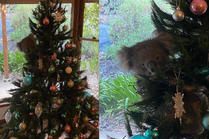 <b>回家</b>驚見聖誕樹上多隻「無尾熊」 網笑:這能收編嗎?