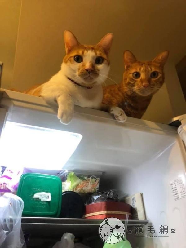 ▲除了紙箱,媽媽「橘子」與大雄也很喜歡待在冰箱上監視奴才(圖/網友程小姐授權提供)