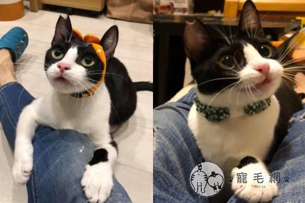 ▲程小姐另外還收編一隻有愛滋的可愛賓士貓「羞羞」,並呼籲大家多給成貓與愛滋貓一個有家的機會(圖/網友程小姐授權提供)