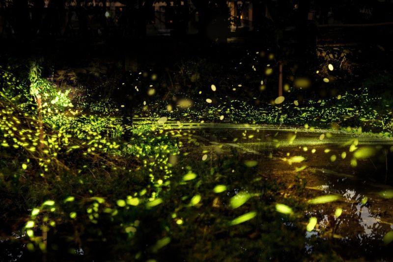 ▲台中電廠堅守對環境永續的自我要求,近年來成為黃緣螢翩翩飛舞的新生樂園。(圖/資料照片)