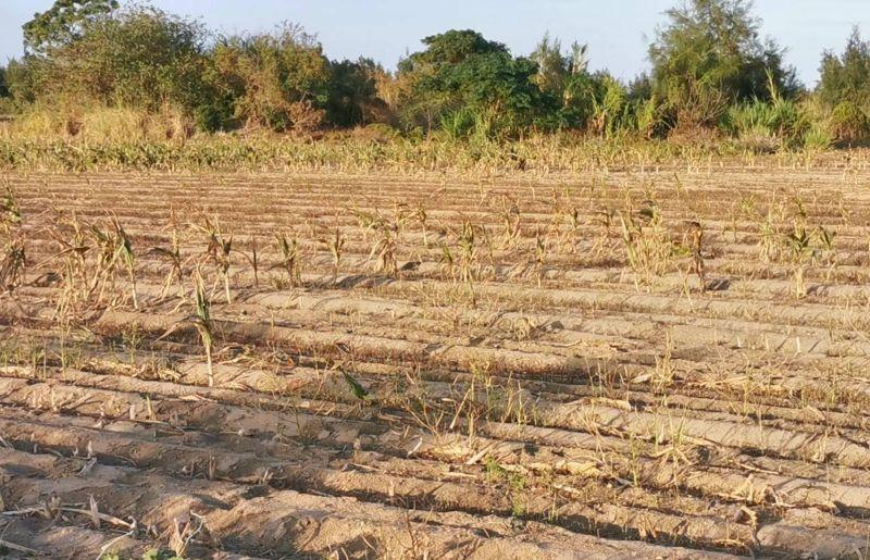 金門久旱不雨,縣府積極向中央爭取1.2億助地區水資源開發與農塘浚深。(圖/記者蔡若喬攝)