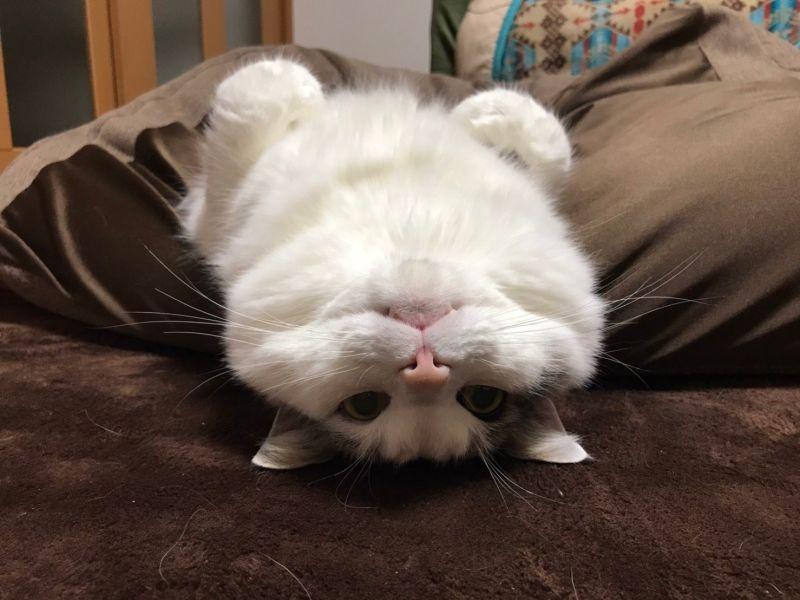 ▲平時貓咪在家放鬆的樣子(圖/Twitter@pen_yw)