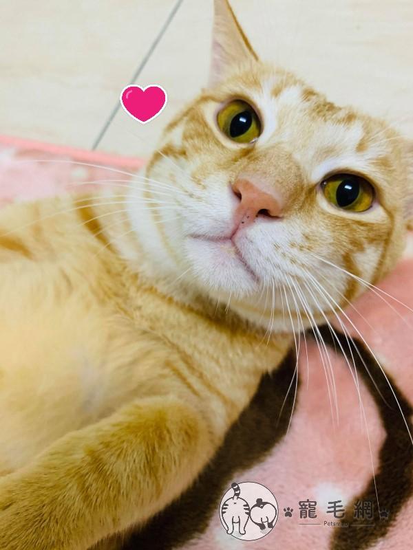 ▲「小寶」是賴小姐友人暫時寄養的橘貓(圖/網友Bao