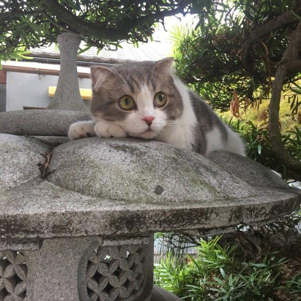 ▲日本一名推主養的蘇格蘭摺耳貓「Kohaku(コハク)」長相相當討喜可愛(圖/twitter@KOHAKU_CHACHA)
