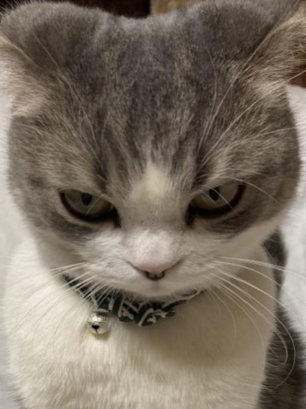 ▲Kohaku:不要跟朕說話,偶現在很生氣(眼神超殺~)!(圖/twitter@KOHAKU_CHACHA)