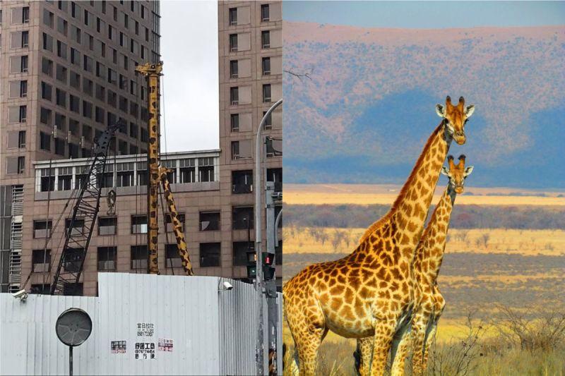 ▲有網友路過工地時,發現有「長頸鹿」受困於工地。(示意圖/翻攝自《新·路上觀察學院》及《pexels》 )