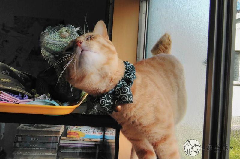 影/橘貓當「跟屁蟲」纏上綠鬣蜥 背後原因原來這麼可愛