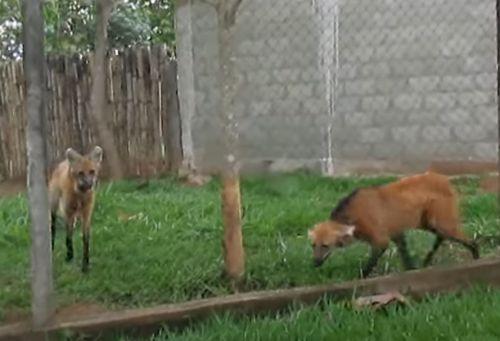 ▲遠遠一看到人類走來,兩隻鬃狼就被吸引靠近!(因為人類手上有食物)(圖/Youtube@Naty's