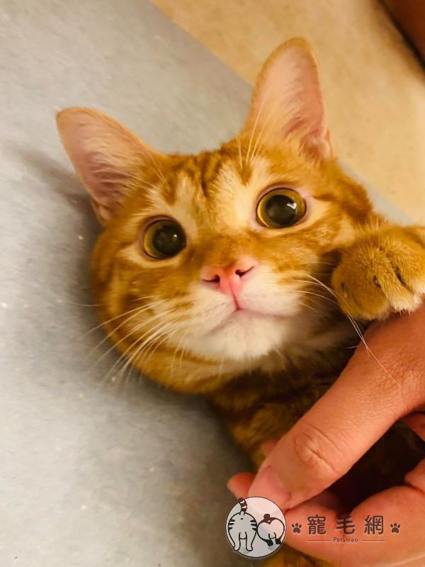 ▲「鐵鐵」是一隻長相超萌的橘貓(圖/粉專三角鐵的功夫授權提供)
