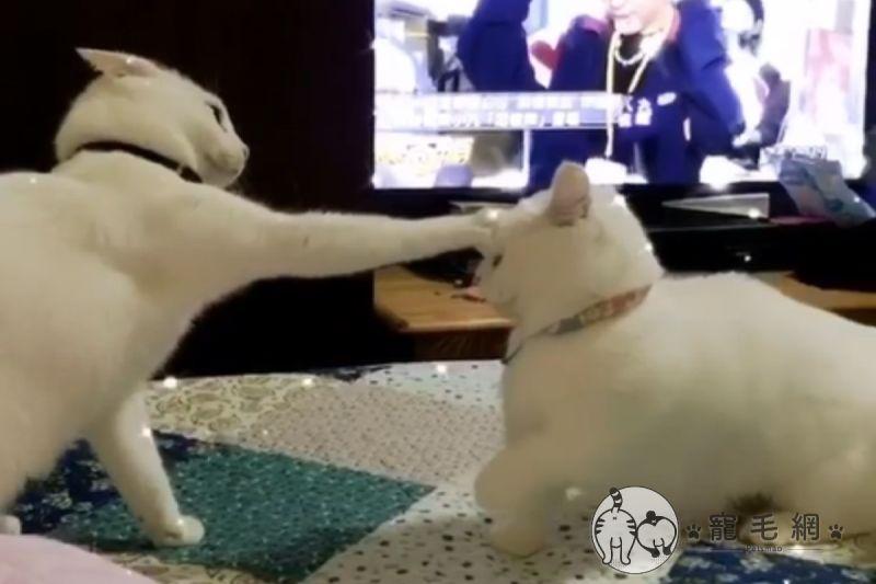 影/小短腿愛挑釁<b>打架</b> 白貓出招秒制霸網笑:長腿優勢!