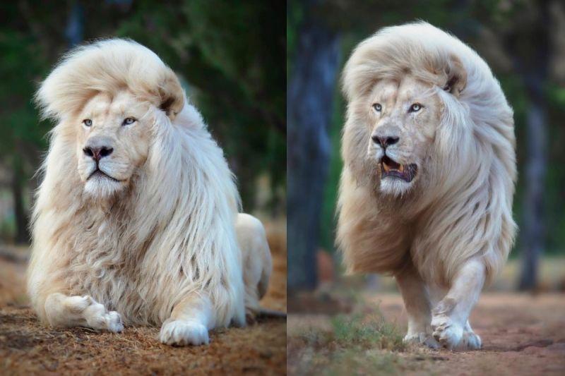 攝影師捕捉白獅「甩髮」超美瞬間 網讚:洗髮精廣告輸了!