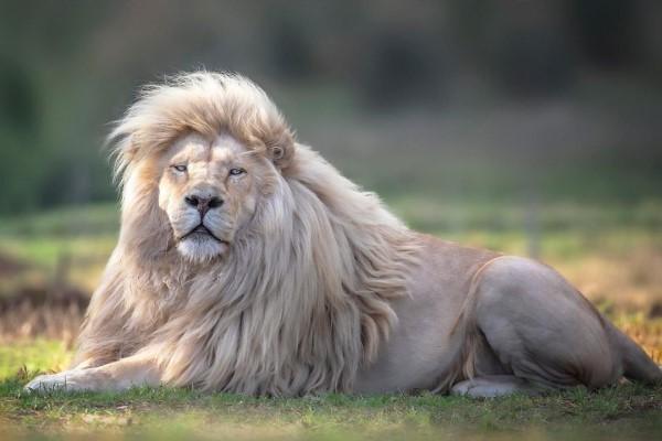 ▲攝影師賽門在南非獅子保護區遇見一頭全身雪白的公獅「Moya莫亞」(圖/IG@human.kind.photography)