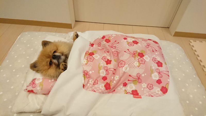 ▲本汪來躺躺看最近很紅的被窩(圖/Twitter@harepiyopiyo)