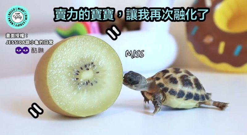 影/龜龜嗑奇異果興奮到扭臀!伸長脖子大口吃相超療癒