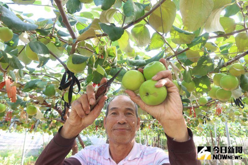 影/陳勝華種植的棗子口感獨特 比青蘋果美味