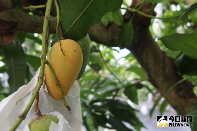 影/冬天怎會有芒果?陳清塗栽種罕見四季檨