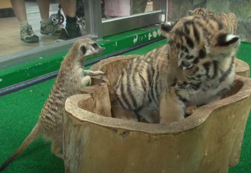 ▲狐獴:這我的位子欸!搞什麼??(圖/Youtube@SBS