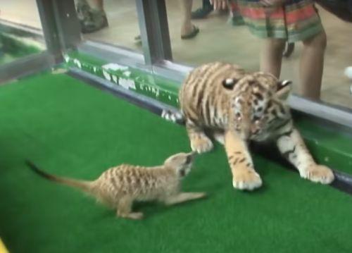 ▲小老虎:啊啊啊啊!!!!(嚇爆)(圖/Youtube@SBS