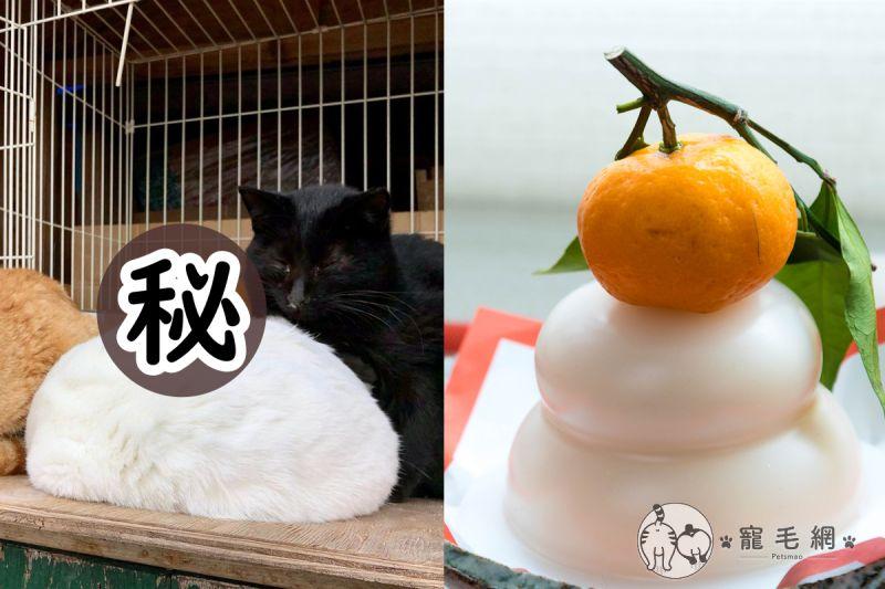 影/<b>白貓</b>睡覺縮成「一團喵」 放橘子一秒變身成「鏡餅」