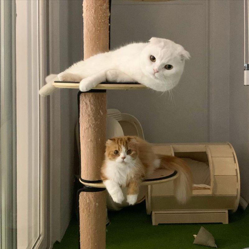 ▲正確示範貓跳台用法,一喵一個位置。(圖/IG@muuuuuuji)