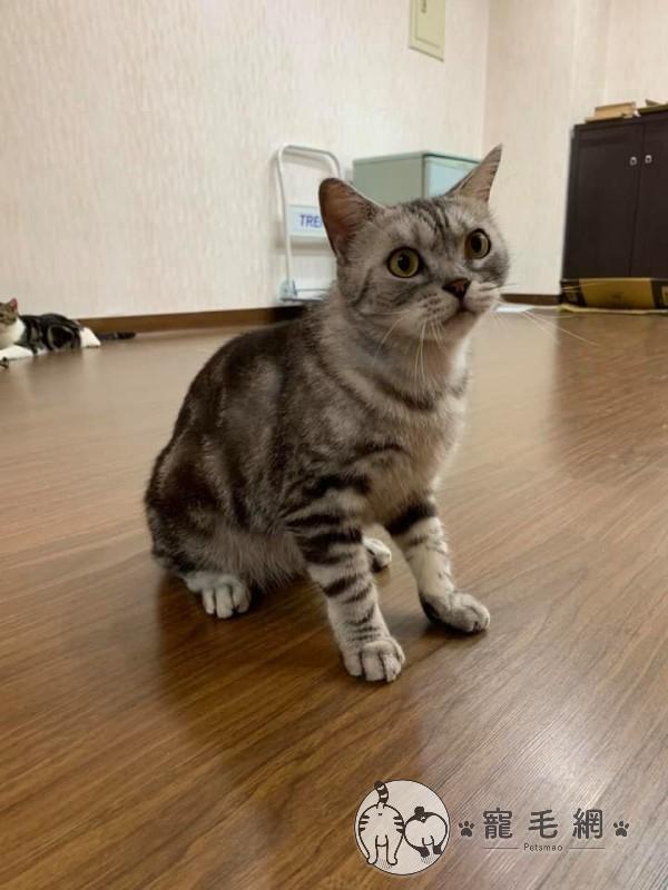▲「意麵」是網友沈白白一年前領養的貓咪(圖/網友沈白白授權提供)